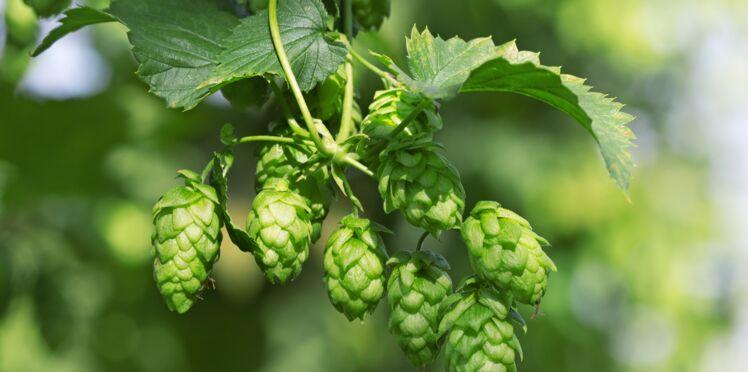 Culture et propriétés du houblon, l'épice de la bière