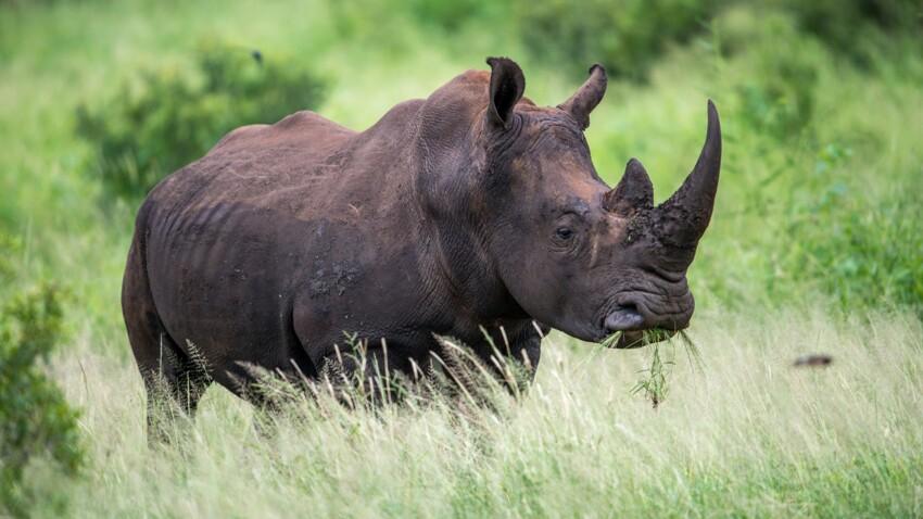 Kenya : 11 rhinocéros qui devaient être transférés sont morts