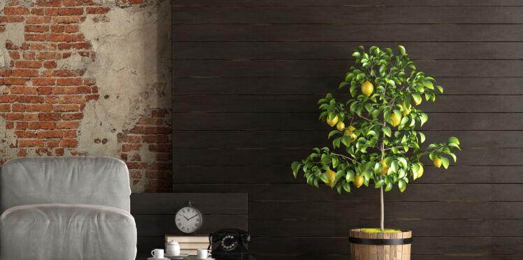Citronnier, oranger, mandarinier… Comment cultiver les agrumes à la maison
