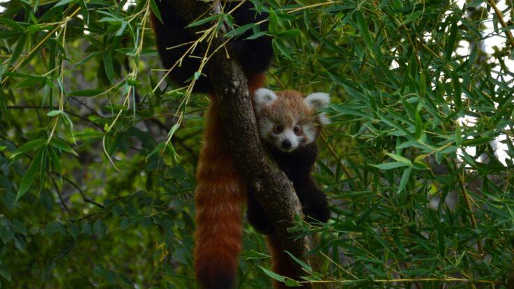 Naissance de deux pandas roux à Lyon