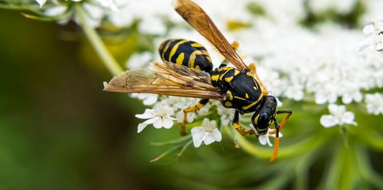 Pourquoi ne faut-il pas tuer les guêpes (qui sont aussi utiles que les abeilles) ?