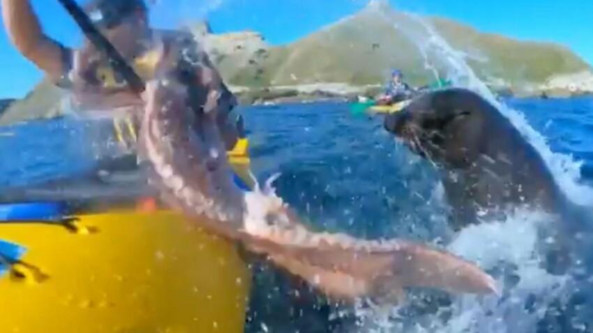 Un kayakiste se fait gifler par une otarie armée d'un poulpe