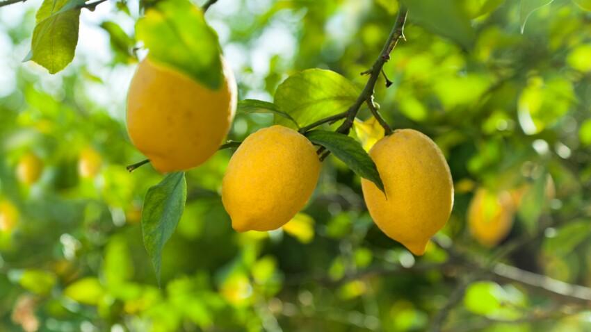 Huile essentielle de citron : ses utilisations et ses bienfaits beauté
