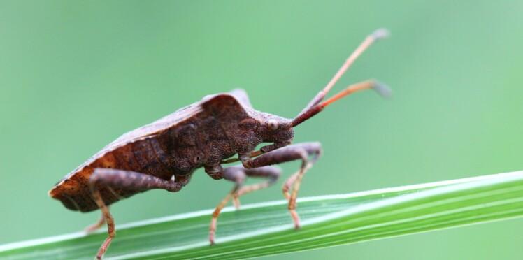 Punaise diabolique : quel est cet insecte qui prolifère en France ?