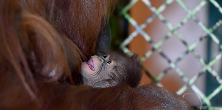Vidéo - Naissance d'un bébé orang-outan à Paris