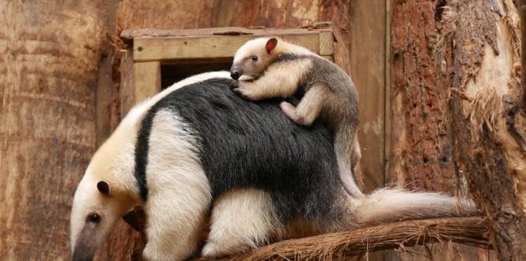 Première naissance d'un fourmilier nain en France