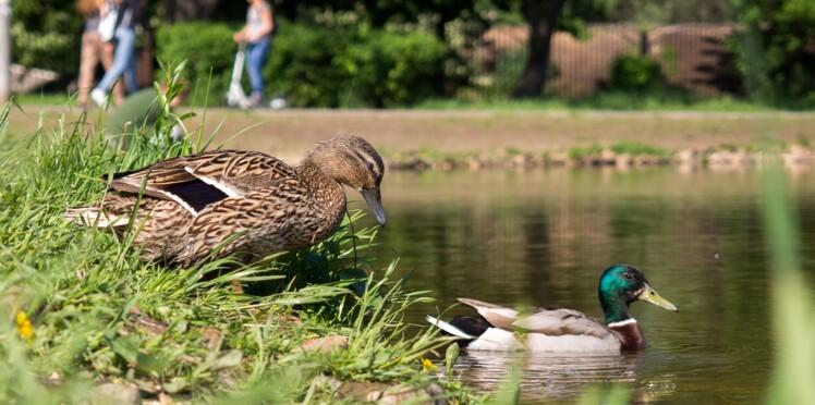 Pourquoi il ne faut jamais donner de pain aux canards (et par quoi le remplacer)