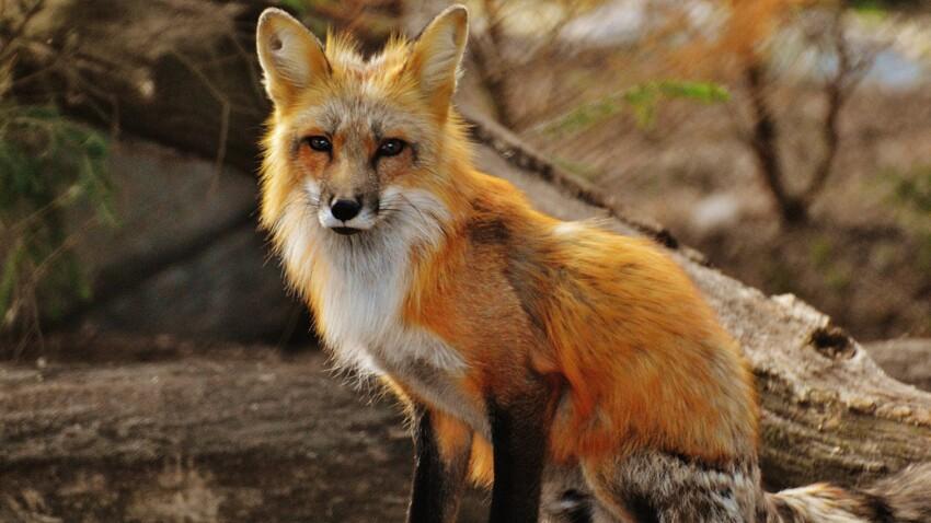 """""""Maladie du renard"""" qui prend de l'ampleur en France : quels sont les symptômes de cette maladie dangereuse pour l'Homme ?"""