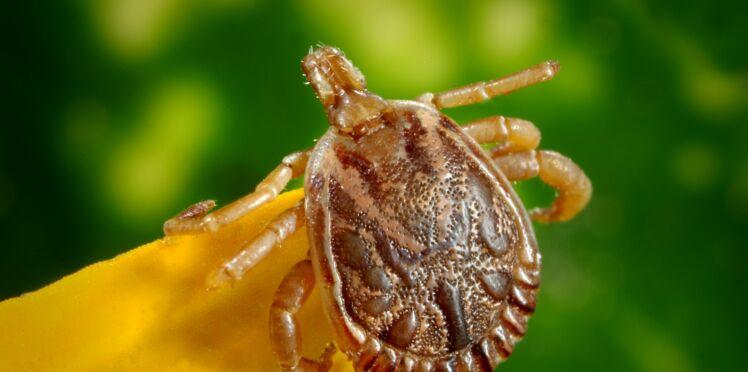 Maladie de Lyme : des huiles essentielles pourraient aider à la combattre