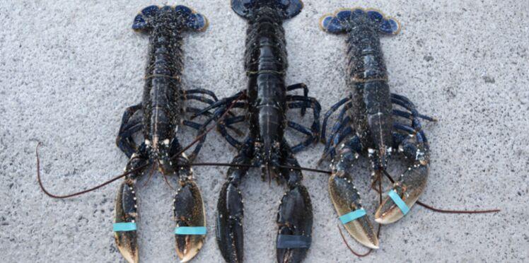 L'astuce géniale pour cuire les homards sans danger ni cruauté