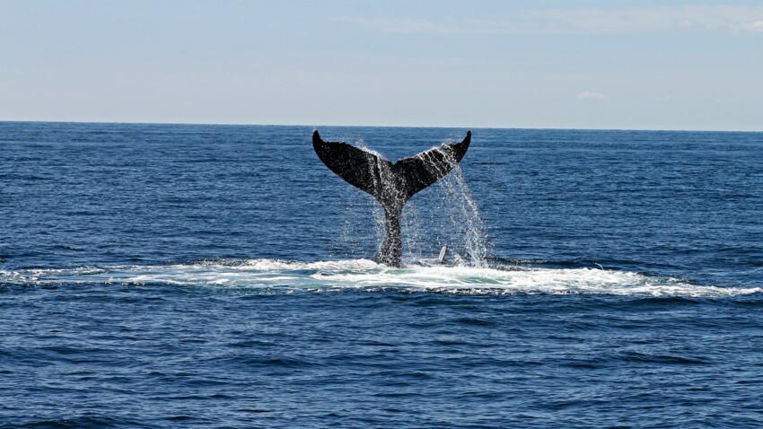 Le Japon reprend la chasse à la baleine en 2019