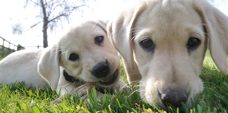 Maîtres en deuil : vous pouvez faire cloner votre chien défunt