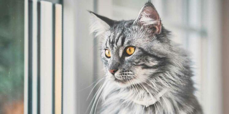 Quelle est la race de chat préférée des Français ?