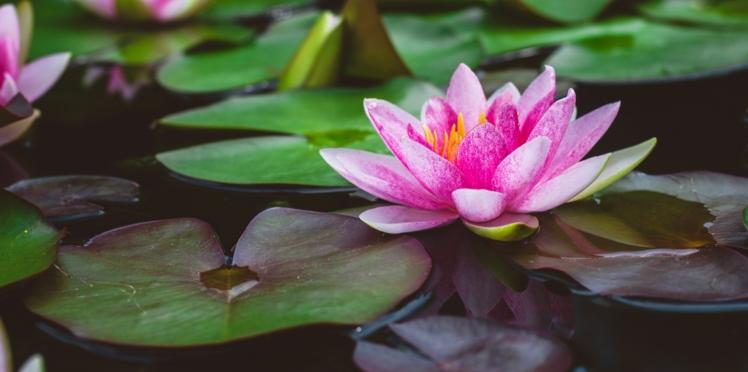 La fleur de lotus sacré : un ingrédient précieux en beauté