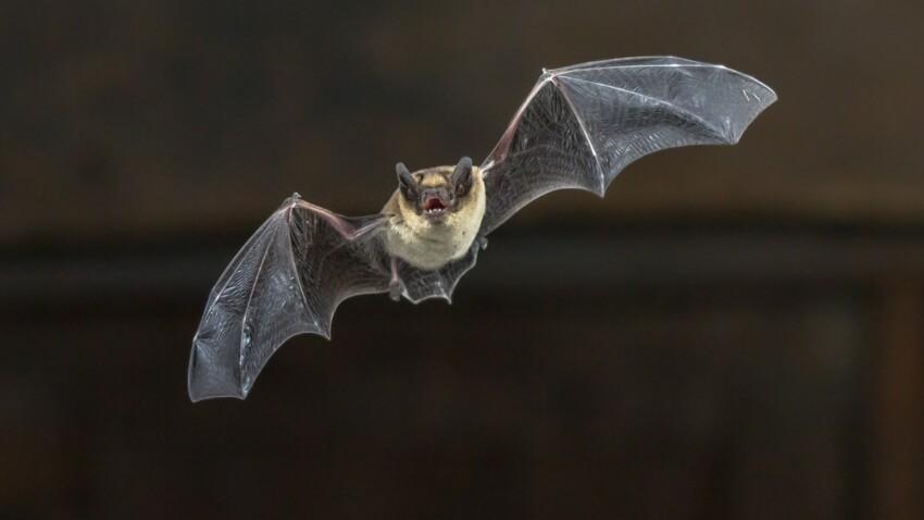 Cas de rage détecté sur une chauve-souris : comment s'en protéger ?
