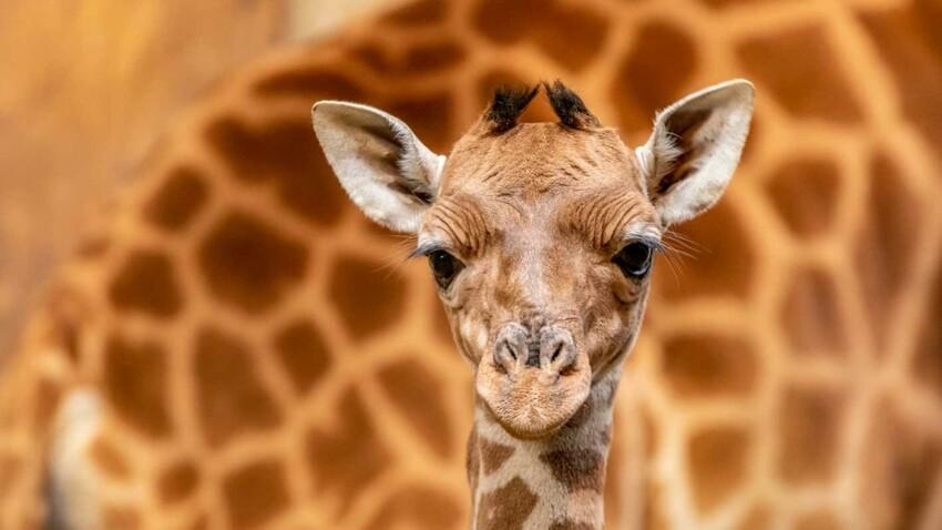 Naissance d'un bébé girafe près d'Angers : une vidéo qui fait du bien !