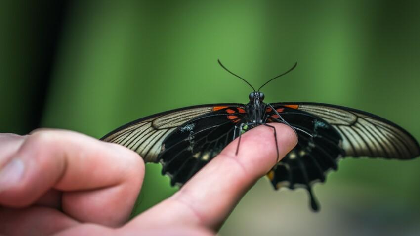 Des sociétés vendent des papillons, et les envoient par la poste
