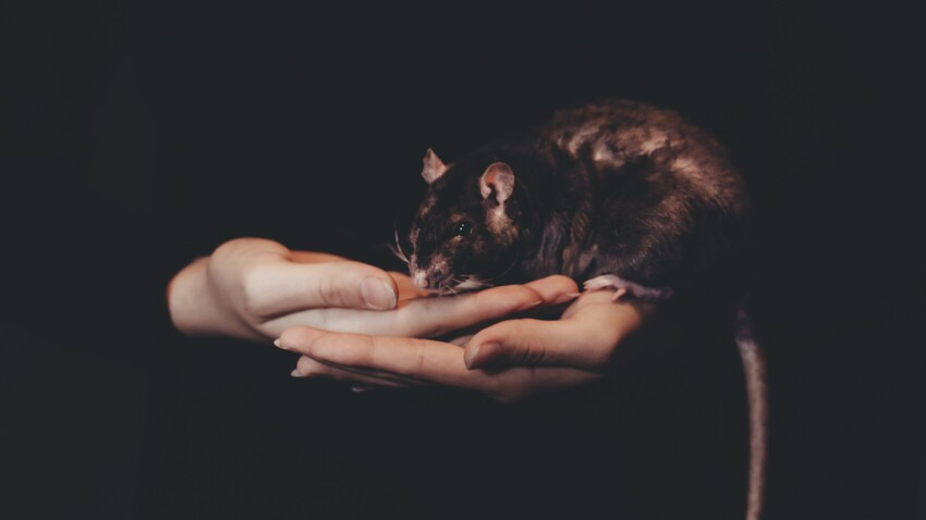Un rat coincé dans une bouche d'égout devient la star d'internet