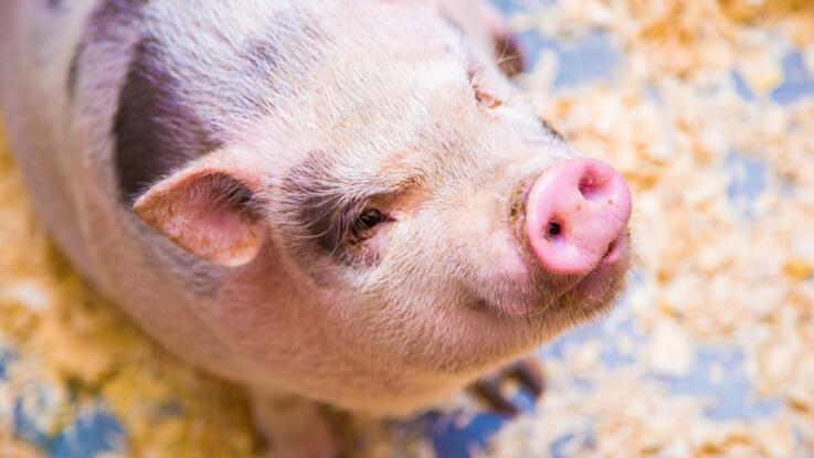Tout savoir sur le cochon