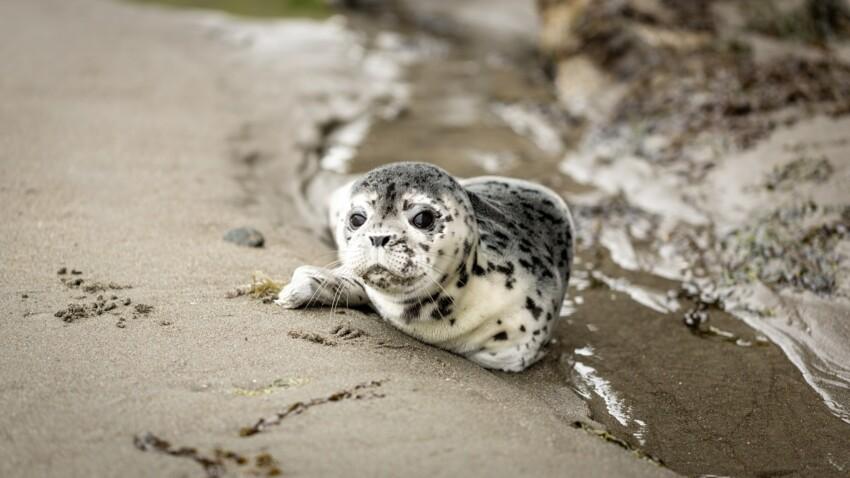 Des phoques retrouvés décapités dans le Finistère