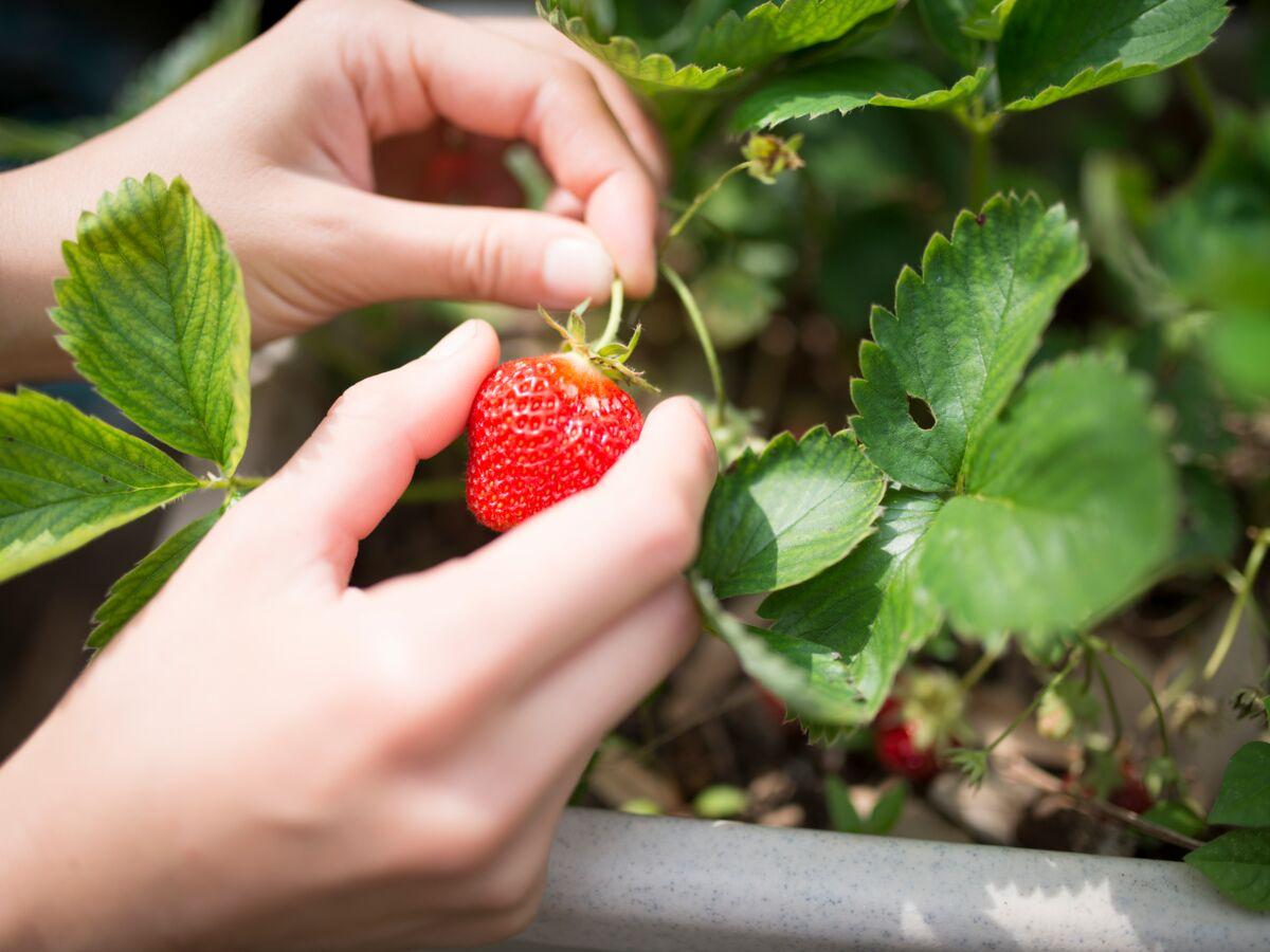 Comment Faire Des Graines De Fraises comment bien cueillir le basilic, la fraise, la menthe