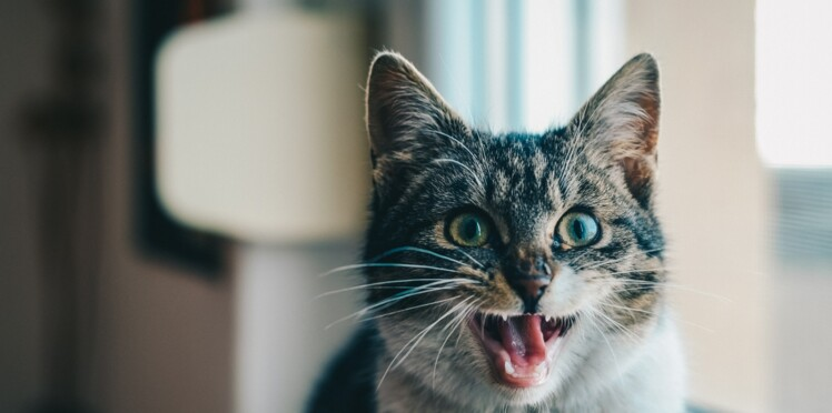 Un collier connecté pour traduire les miaulements de votre chat