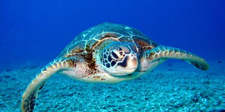 Job de rêve : deux semaines de stage pour soigner des tortues aux Maldives