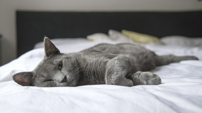 Un chat sauvé grâce à une greffe de rein