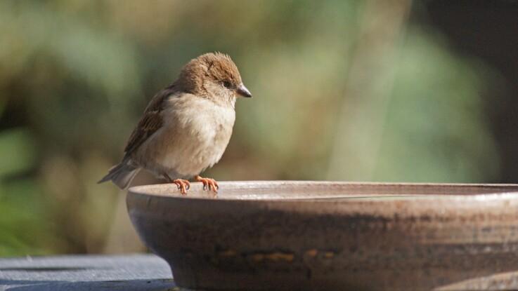 Canicule : le geste simple pour aider les oiseaux