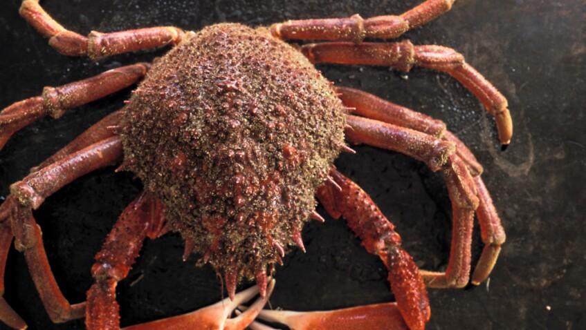 Comment réussir la cuisson de l'araignée de mer ?