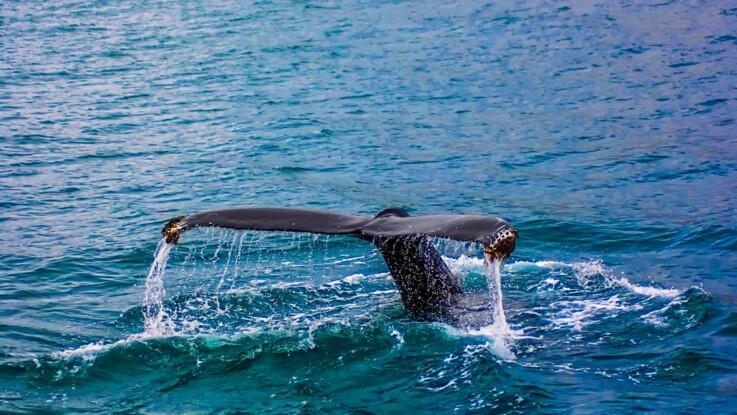 Baleines : le Japon reprend le massacre