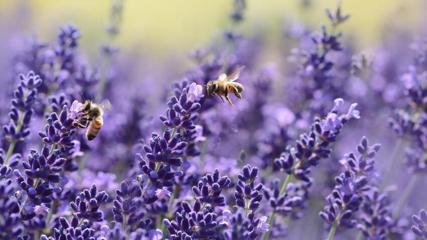 Piqûre d'abeille : comment réagir et quand faut-il s'inquiéter ?