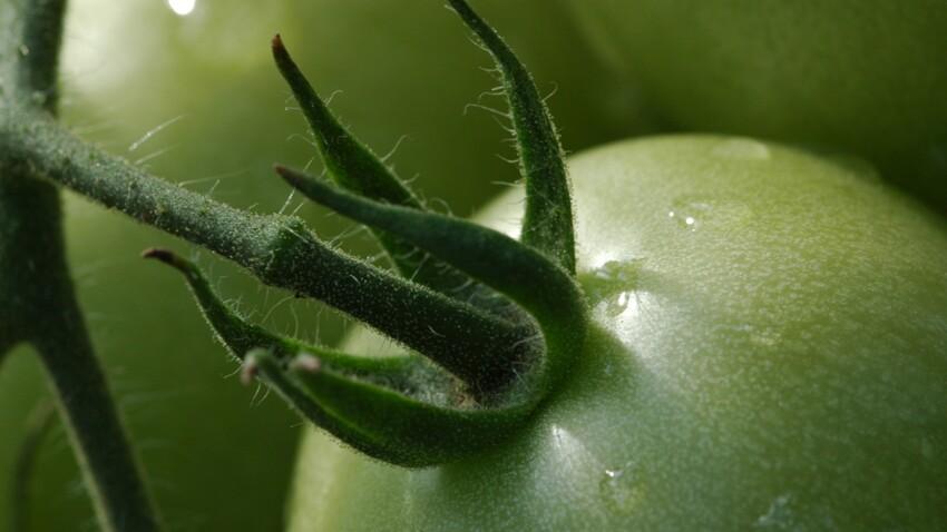 Chutney, soupe, confiture… Toutes nos idées de recettes avec des tomates vertes