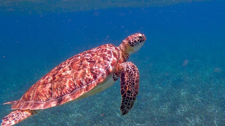 Et si les soutiens-gorges pouvaient soigner les tortues ?