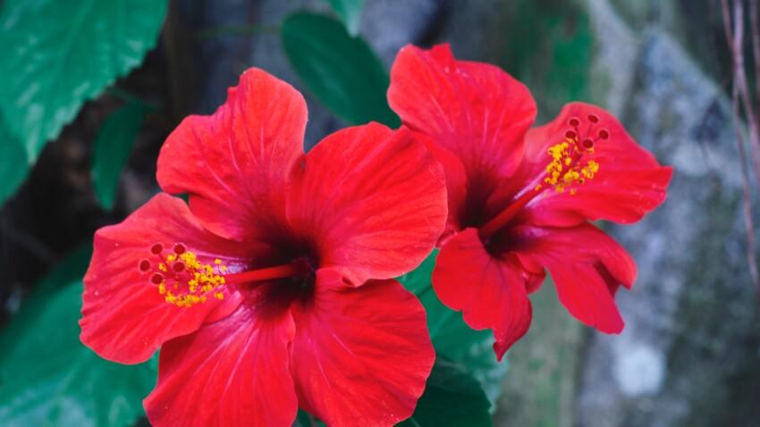 Jambes lourdes, cystite... l'hibiscus, la plante phare pour soulager les maux de l'été