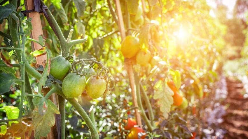 Mais pourquoi les tomates ne rougissent pas au jardin ?