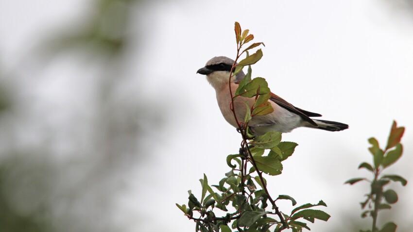 Une espèce d'oiseaux est menacée de disparaître en France, pour la première fois au 21ème siècle