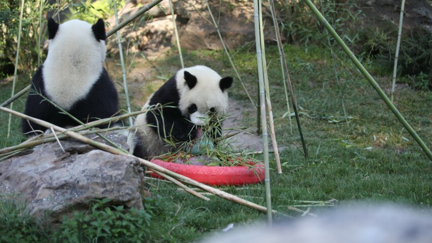 Le bébé panda du zoo de Beauval fête ses 2 ans !