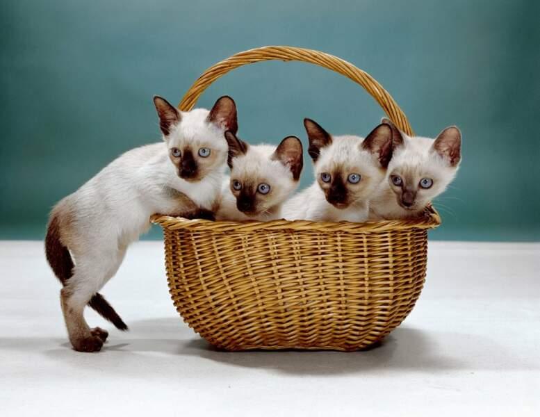 Des chatons siamois
