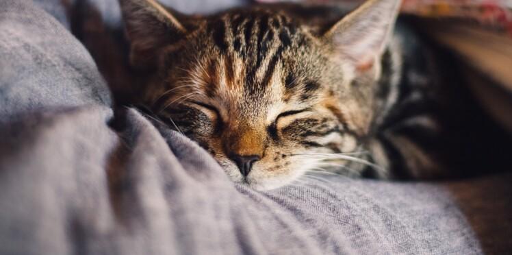 Bientôt un vaccin contre l'allergie aux chats