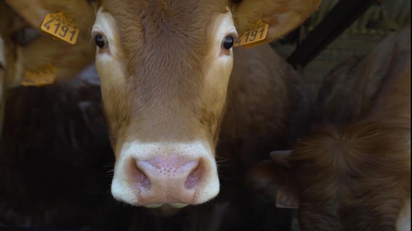 Tout savoir sur la viande Limousine