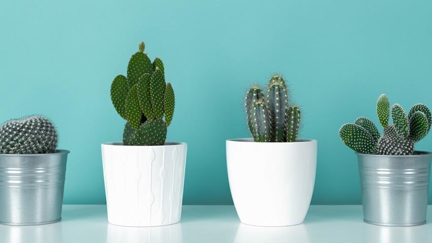 4 conseils pour bien entretenir ses cactus