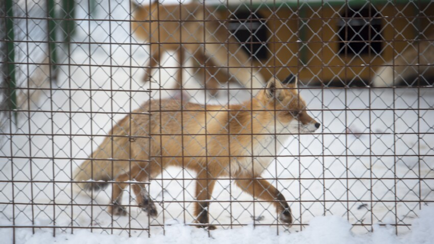 En Norvège, l'élevage d'animaux à fourrure est interdit: et en France?