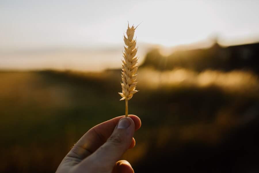 Les germes de blé : pour faire le plein de potassium