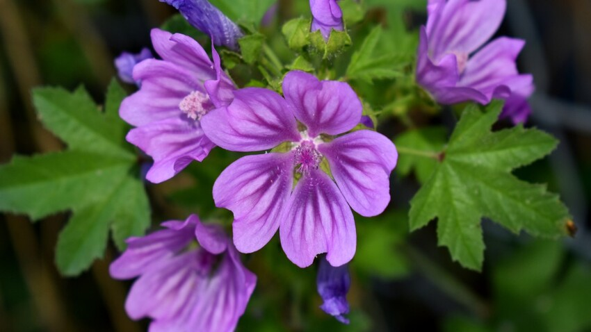 Fleur de mauve : quels sont ses bienfaits et comment l'utiliser ...