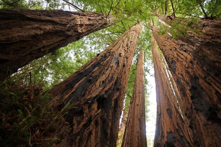 Parc national de Redwood : la forêt des Ewoks aux Etats-Unis