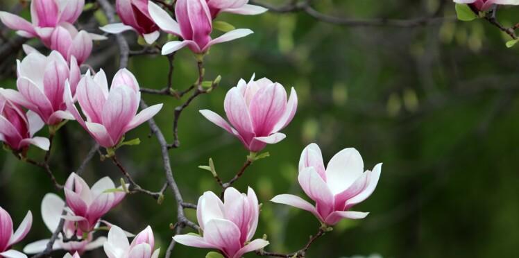Zoom sur le magnolia, la fleur fétiche d'Henri Matisse