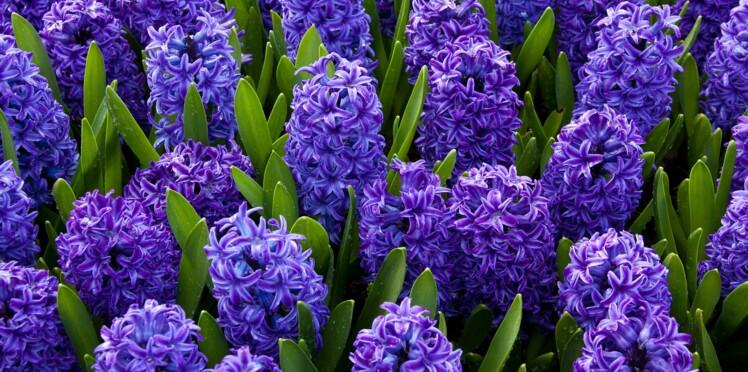 La jacinthe : zoom sur la fleur favorite de la marquise de Pompadour