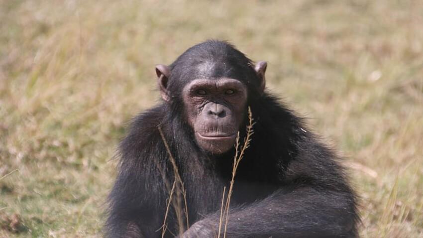 Qui est Cheeta, le chimpanzé de Tarzan, star d'Hollywood ?