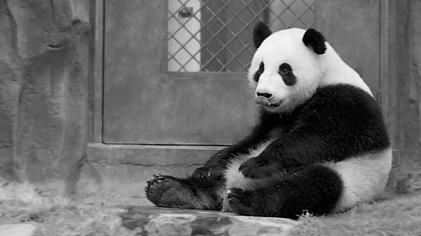 Qui est Chi Chi, le panda mascotte de l'écologie ?